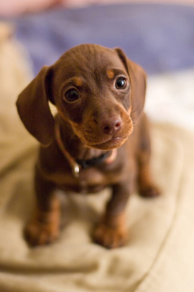 Lovely Brown Dachshund Dog Pup Looking At You