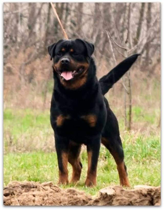 Lovely Rottweiler Dog In Park