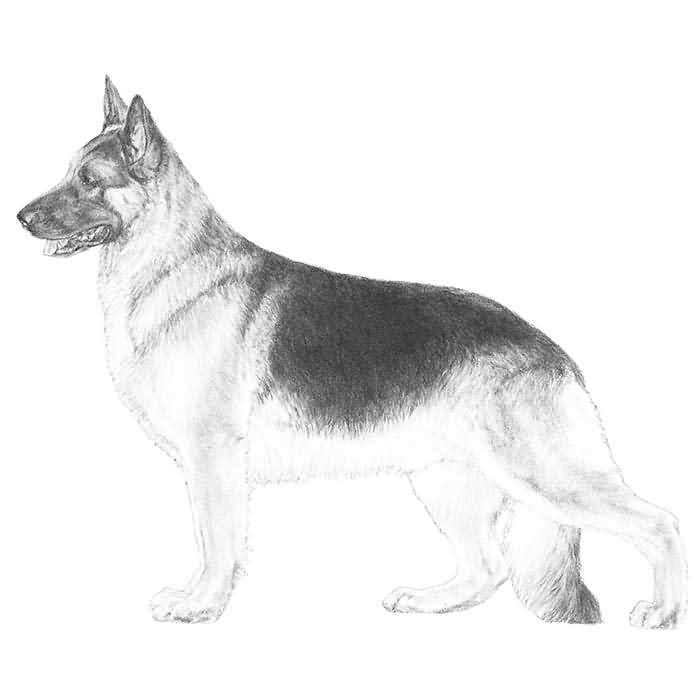 Lovely Shepherd Dog Sketch On For Wallpaper