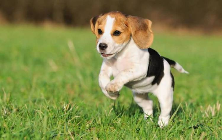 Mind Blowing Beagle Dog Running In Park