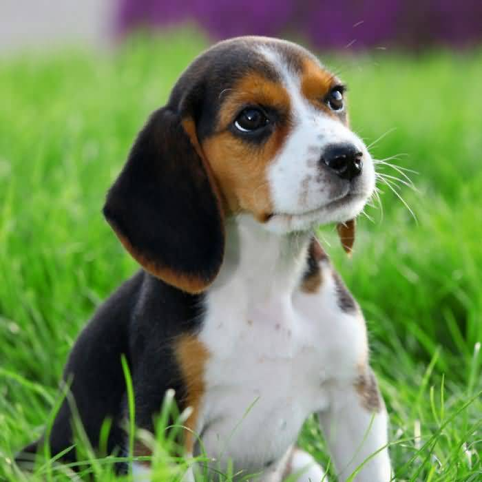 Mind Blowing Beagle Dog Sitting In Park