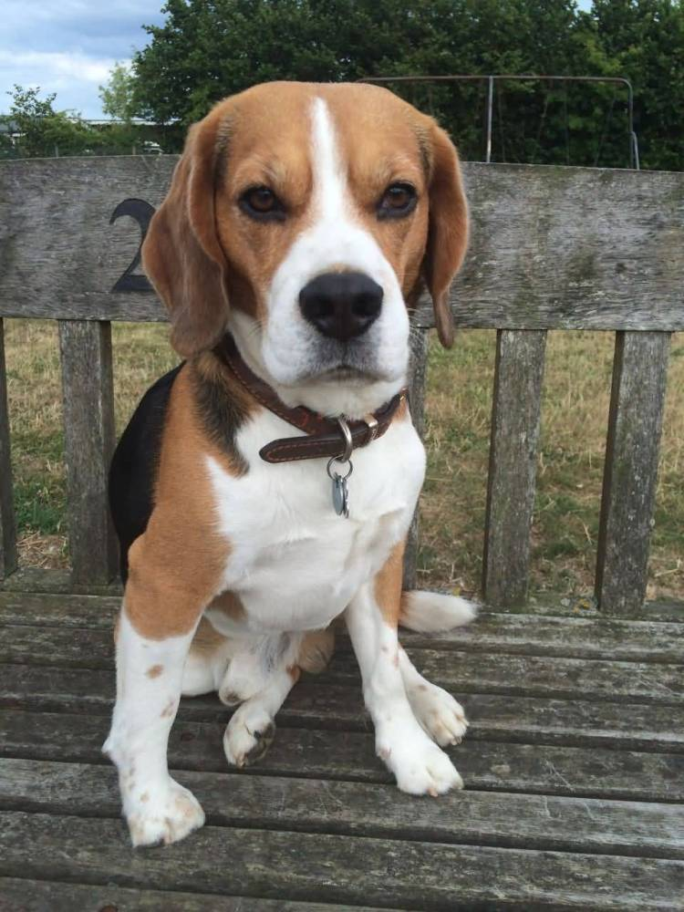 Mind Blowing Beagle Dog Sitting On Wood Stand