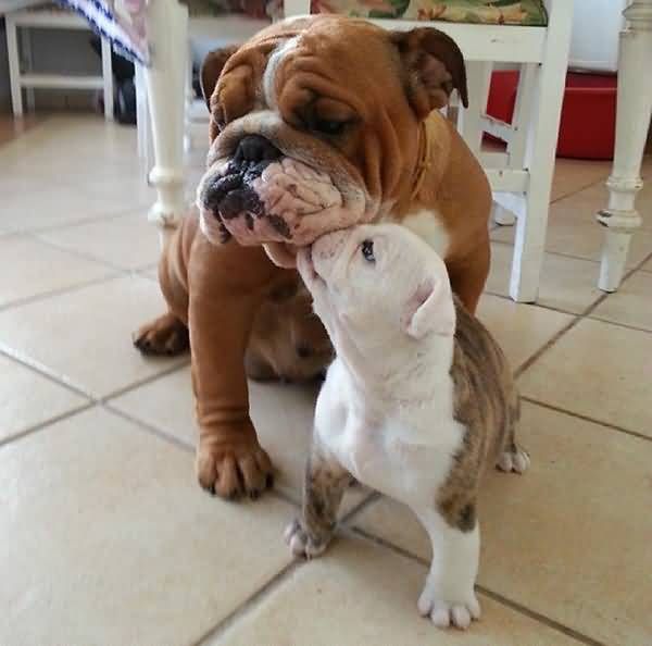 Mind Blowing Bulldog With His Baby For Home