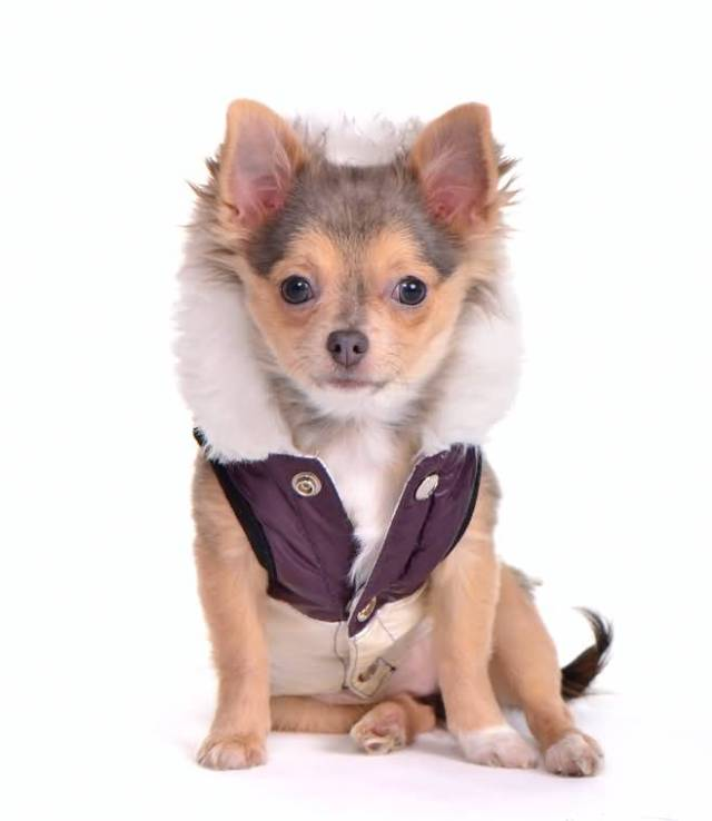 Mind Blowing Chihuahua Dog With Jacket