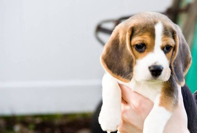 Most Beautiful Beagle Dog Baby In Boy Hand