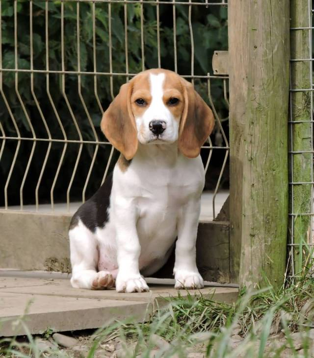 Most Beautiful Beagle Dog Sitting At Outside