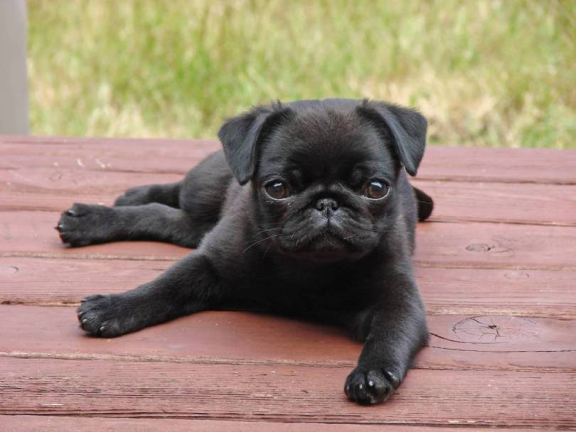 Most Beautiful Black Pug Dog Baby On Wood Bench