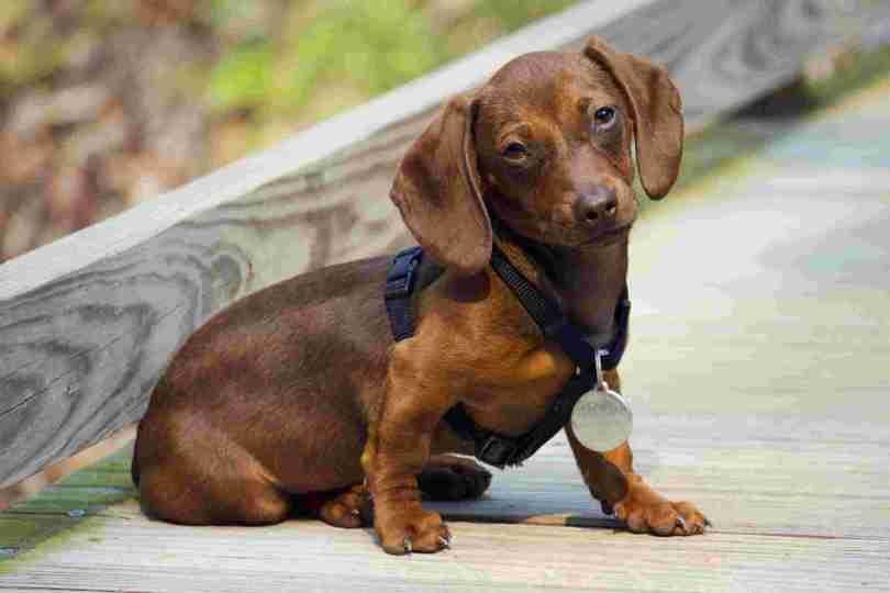 Most Beautiful Brown Dachshund Dog Sitting On Road
