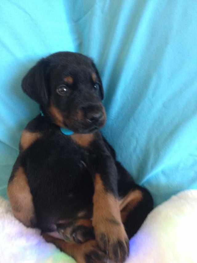 Most Beautiful Doberman Pinscher Puppy Sitting On Bed