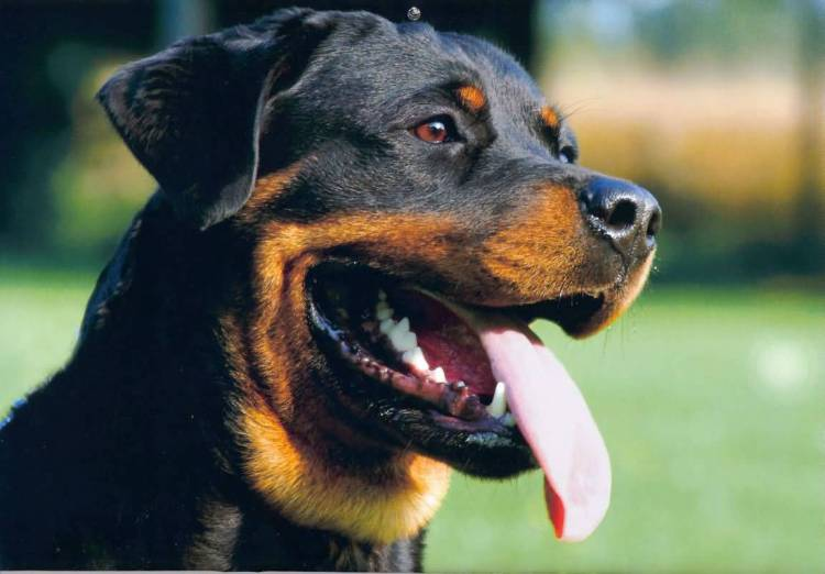Most Beautiful Rottweiler Dog With Beautiful Background