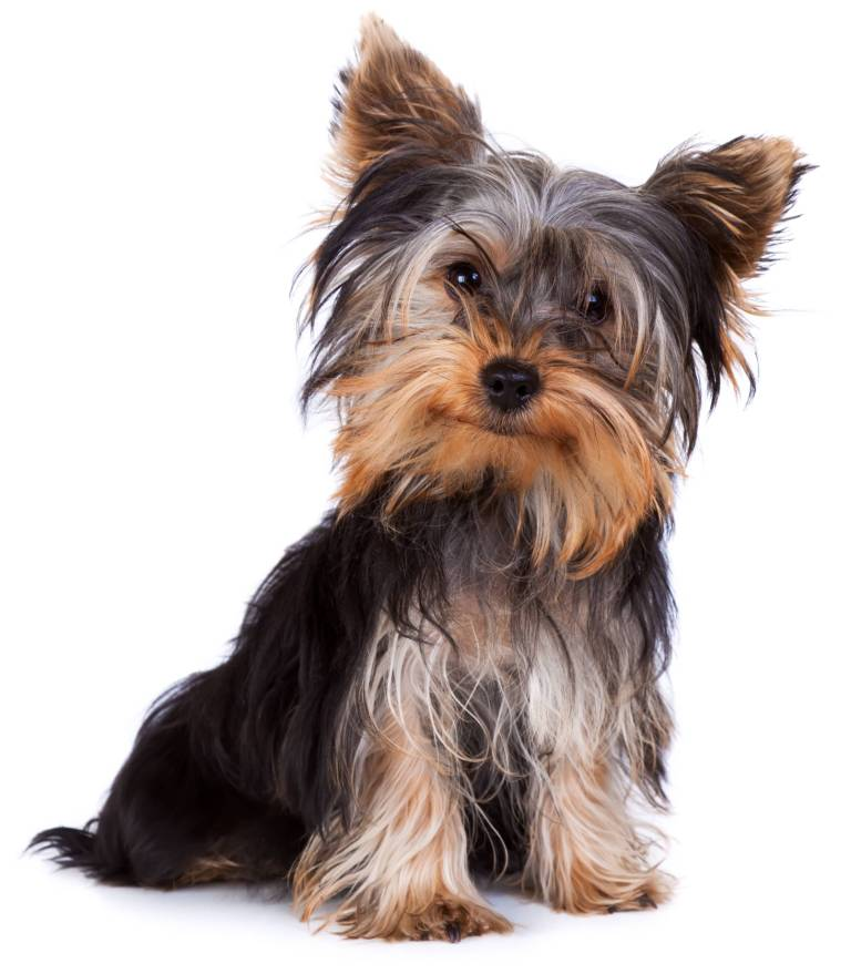 Most Charming Black Yorkshire Terrier Toy Dog On Floor