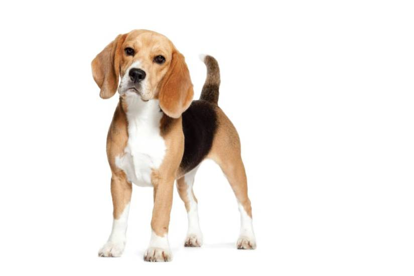 Nice Adult Beagle Dog Standing On Floor Looking At You