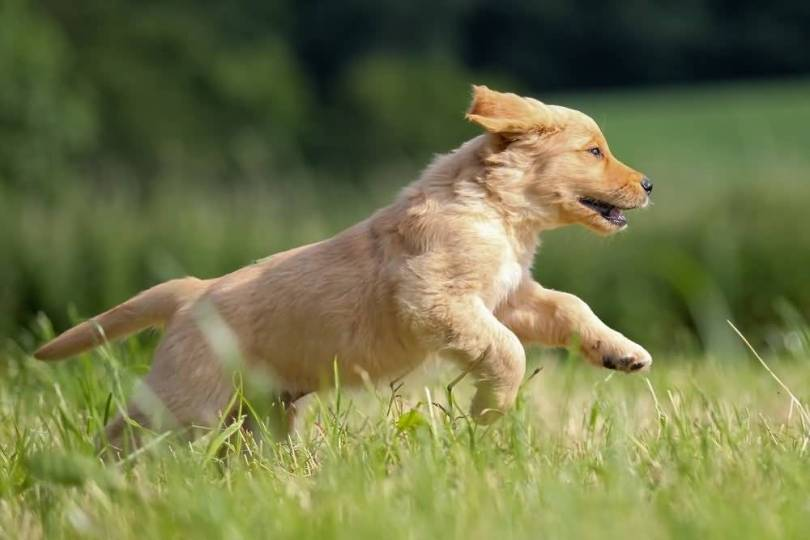 Nice Baby Golden Retriever Dog With Beautiful Background