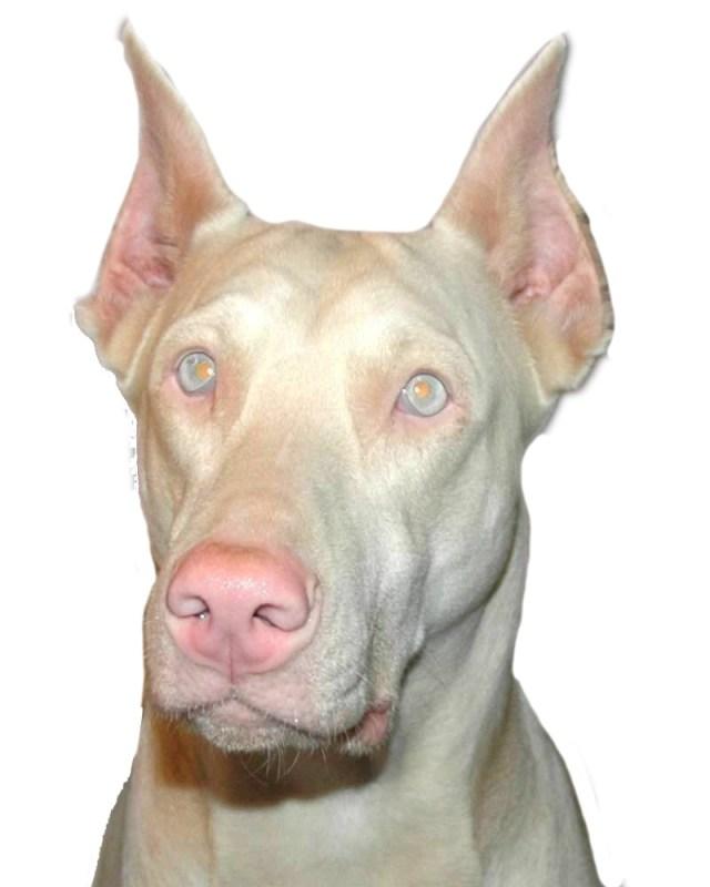 Nice Doberman Pinscher Dog For Wallpaper