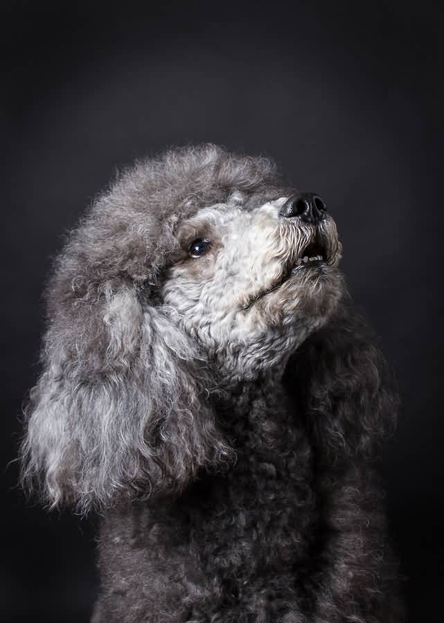 Nice Grey Poodle Dog With Beautiful Background