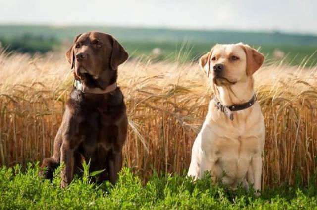 Nice Labrador Dog Retriever On Grass
