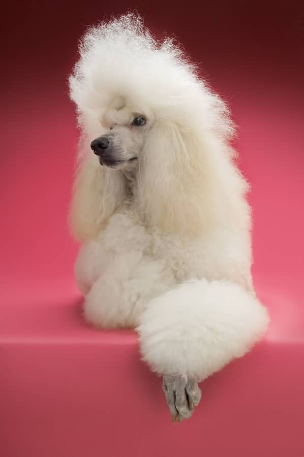 Nice White Poodle Dog With Beautiful Background