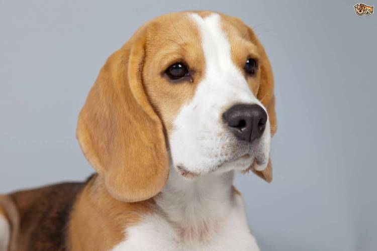 Out Standing Adult Beagle Dog Looking At Your Right Side