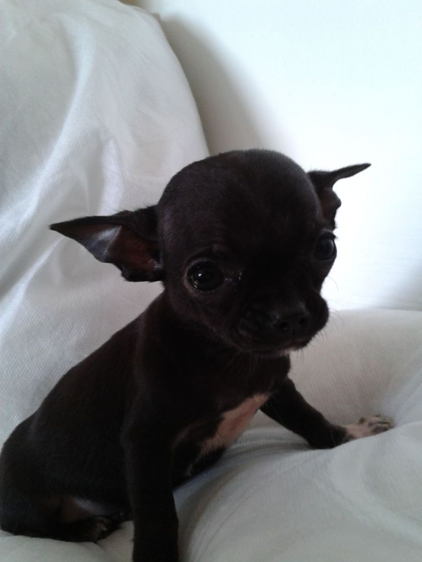 Out Standing Black Chihuahua Dog Sitting On Sofa