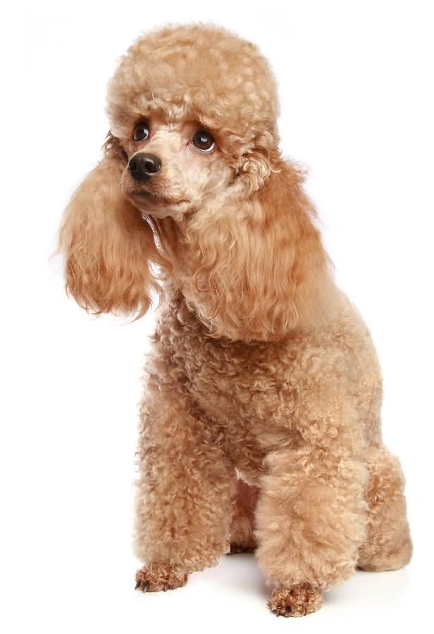 Out Standing Golden Poodle Dog With White Background