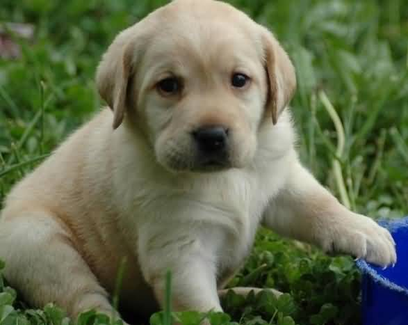 Out Standing White Labrador Retriever Dog Baby With Beautiful Background