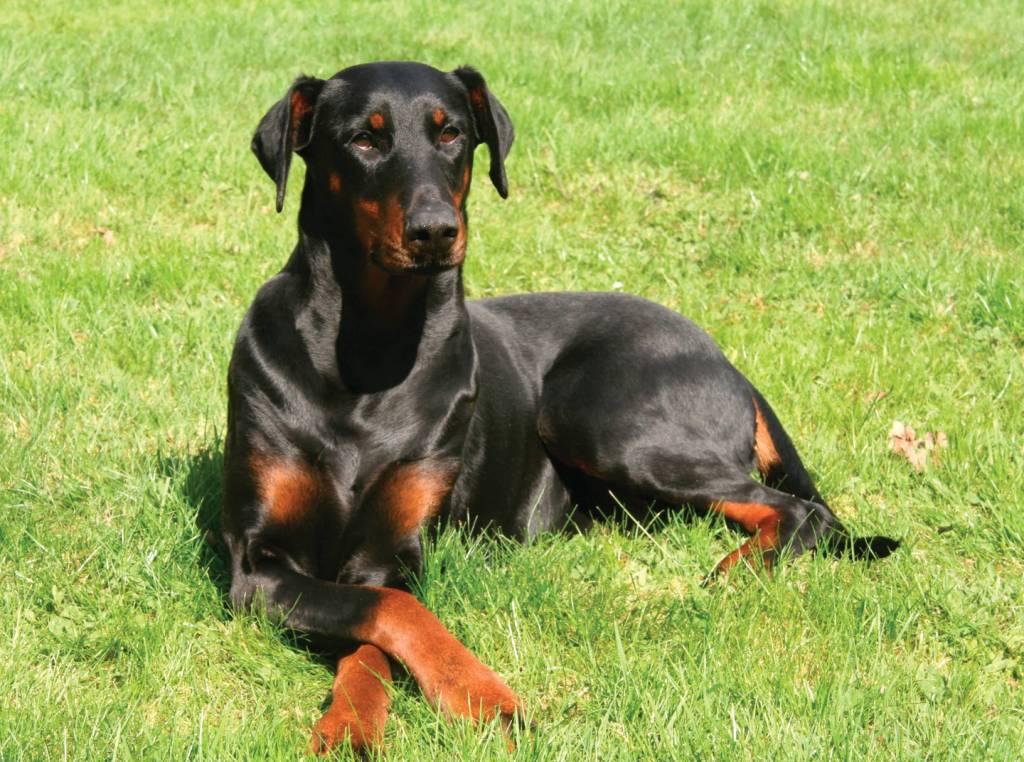 Perfect Doberman Pinscher Dog Sitting In Garden