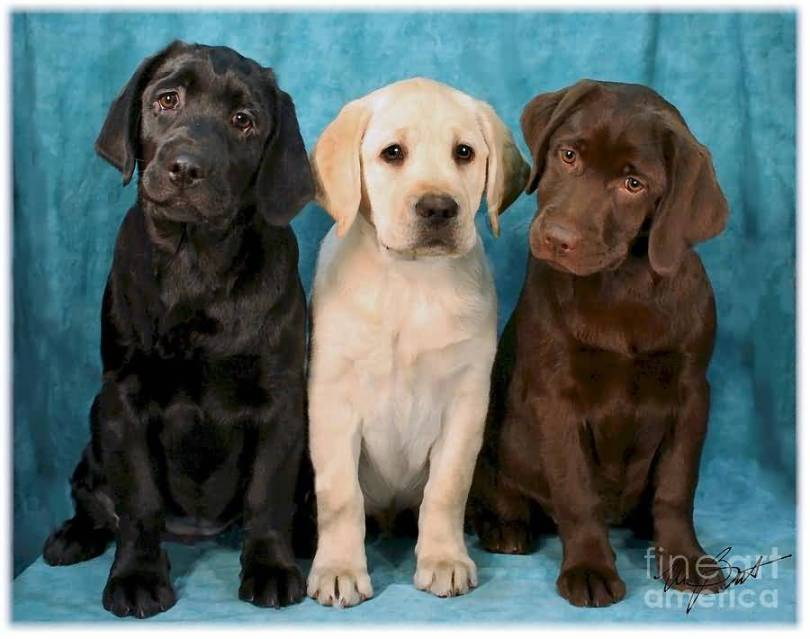 Perfect Labrador Retriever Pup Image For Wallpaper