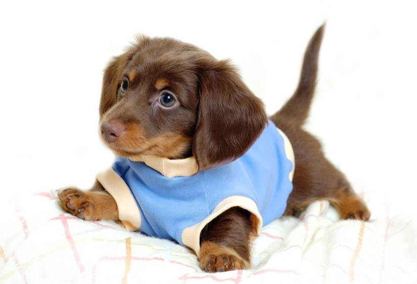 Perfect Photo Of Brown Dachshund Dog With Black Eyes