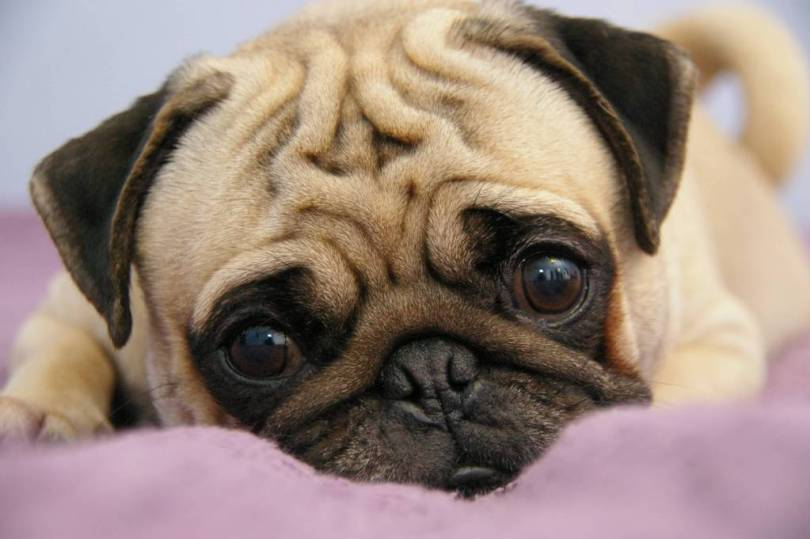 Perfect Sad Pug Dog Puppy Looking At You