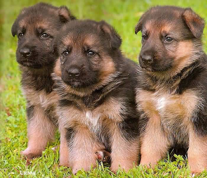Perfect Three German Shepherd Pups With Beautiful Background