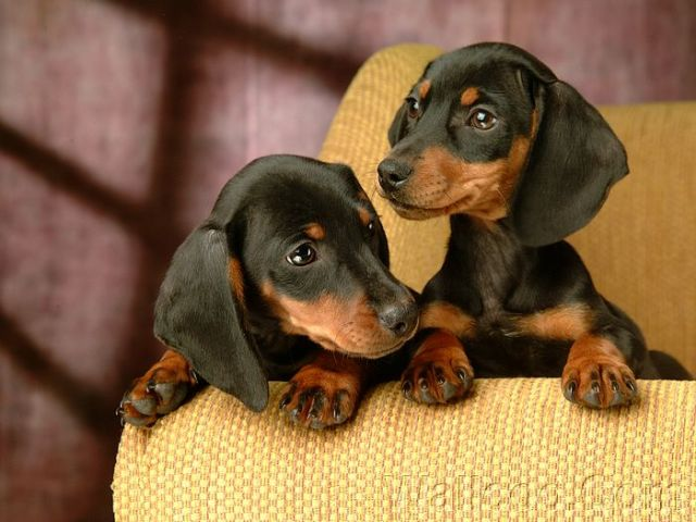 Perfect Two Black Dachshund Dog For Wallpaper