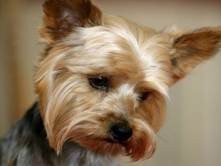 Perfect Yorkshire Terrier Dog With Beautiful Background