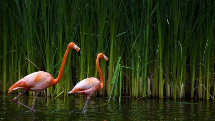Pink Birds Finding Insects In Water