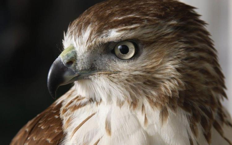 Stunning Eagle Face Wallpaper In 4K