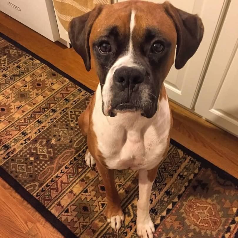 Superb Mix Boxer Dog Looking At You