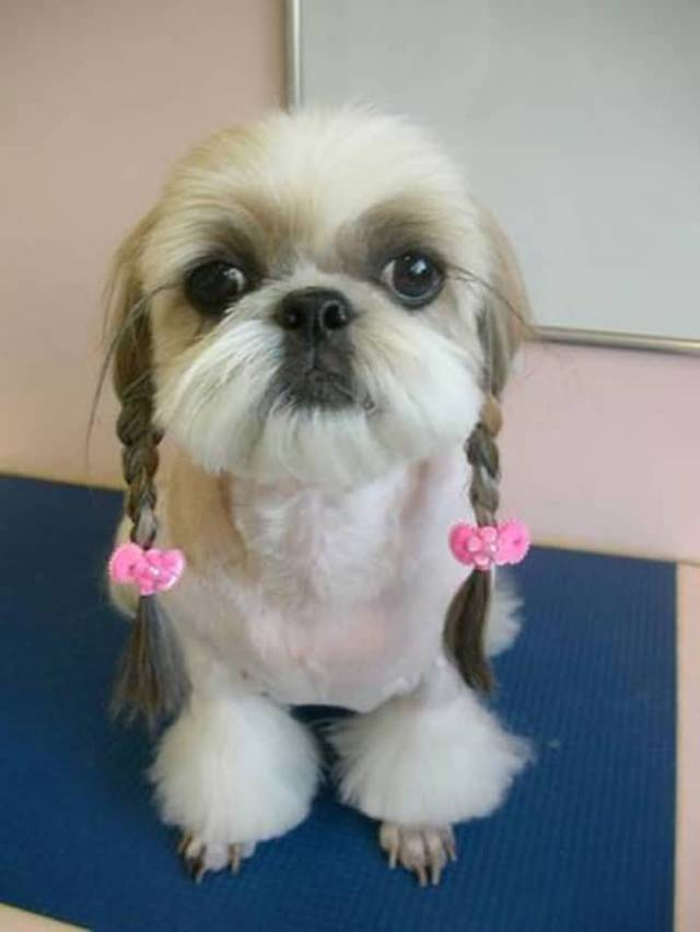 Superb Shih Tzu Dog In Home