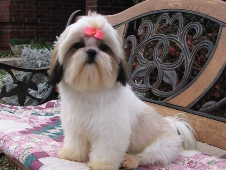 Superb Shih Tzu Dog Ready For Photo shot