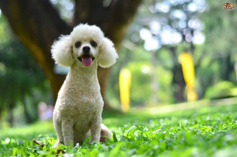 Superb Toy Poodle Dog With Beautiful Background