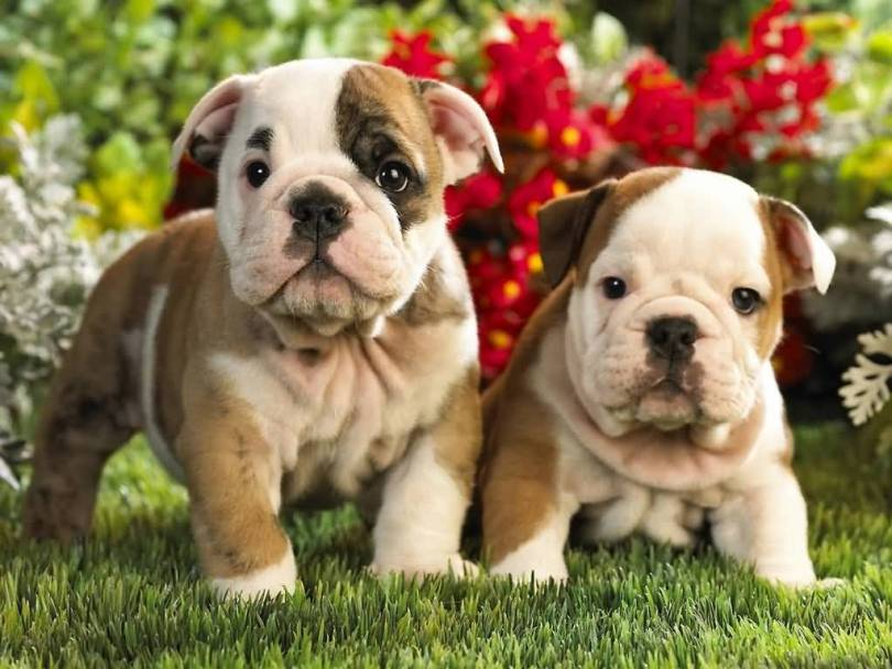 Superb White And Brown Bulldog Puppies Playing In Park