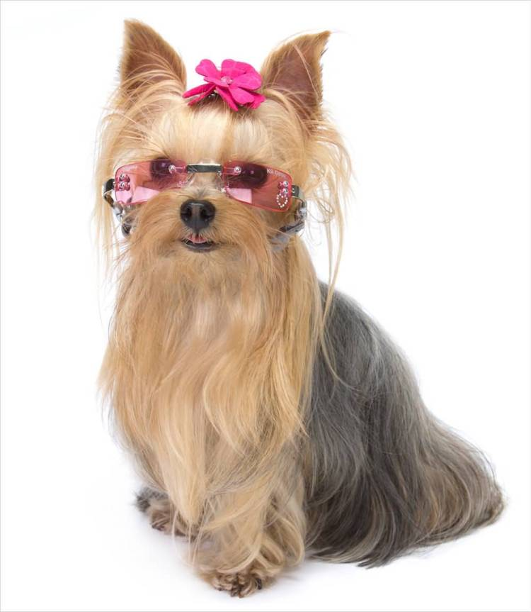 Superb Yorkshire Terrier Dog With White Background