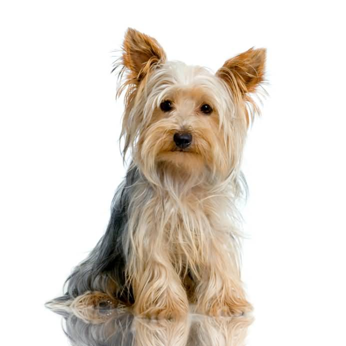 Superb Yorkshire Terrier Toy Dog With White Background