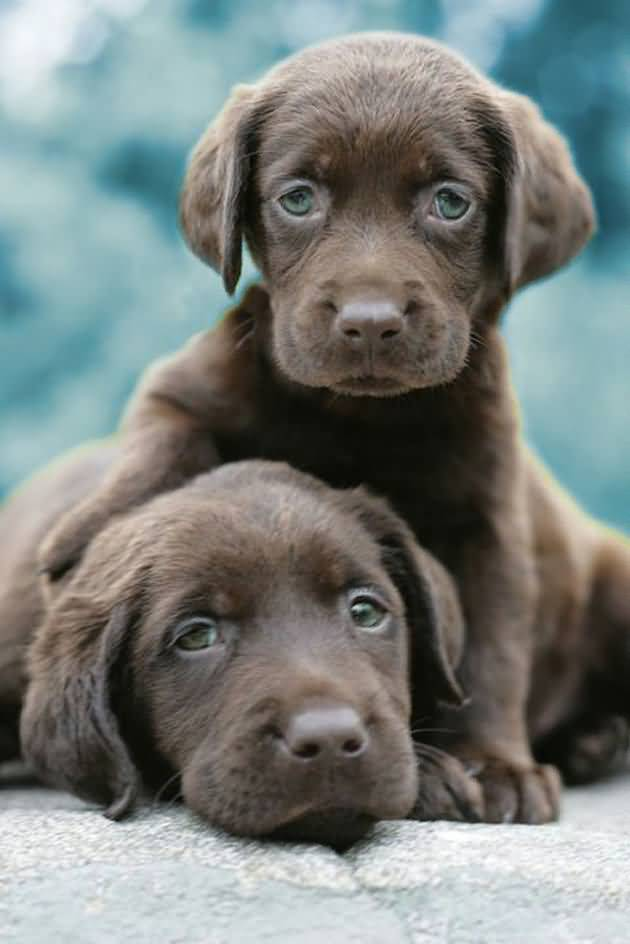 Sweet Labrador Retriever Puppies With Beautiful Background