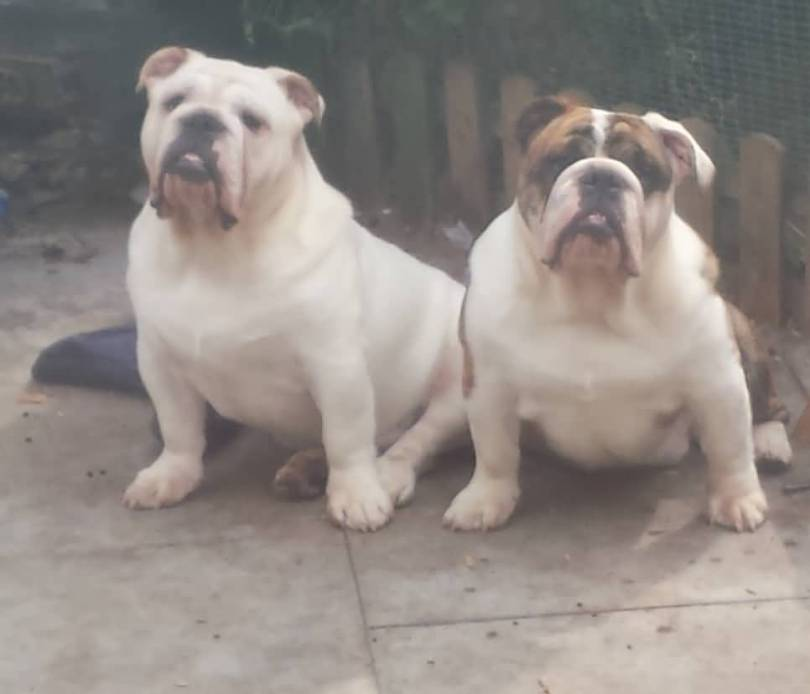 Sweet White Happily Married Bulldog Couple Sitting On Road One Side