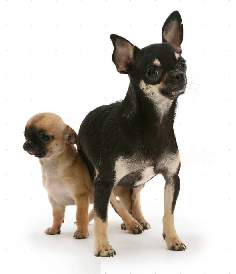 Two Baby Chihuahua Dog Image For Wallpaper