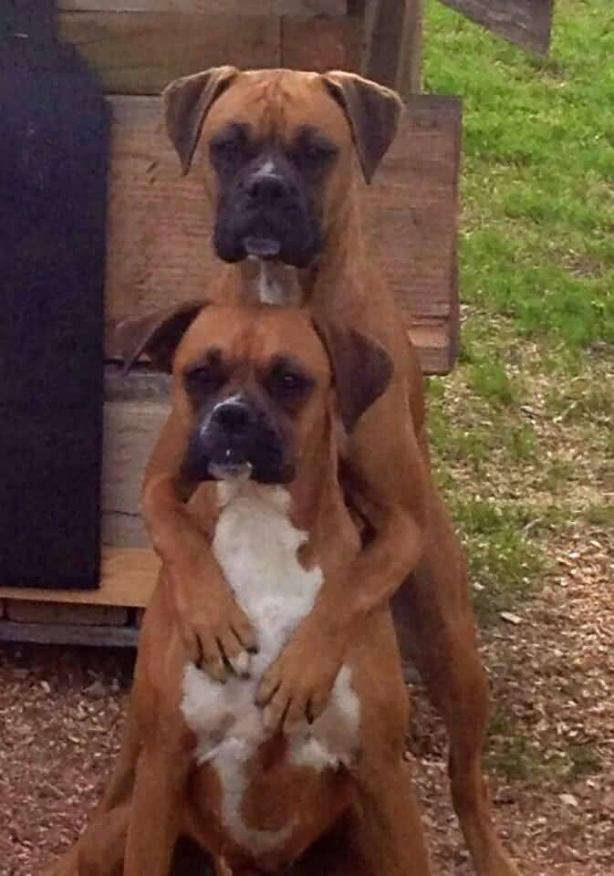 Two Brown Boxer Dog Couple With Black Eye