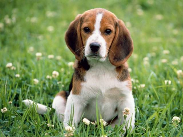 Ultimate Beagle Dog Puppies Sitting In Park