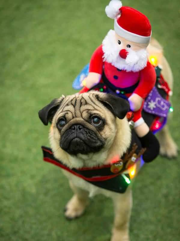 Ultimate Pug Dog Ready For Christmas With Beautiful Background