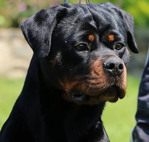 Unique Rottweiler Dog Baby Photo For Wallpaper