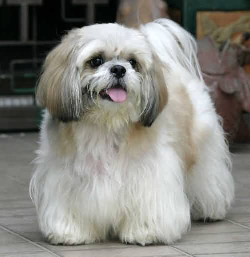 Unique Shih Tzu Dog Stand On Floor
