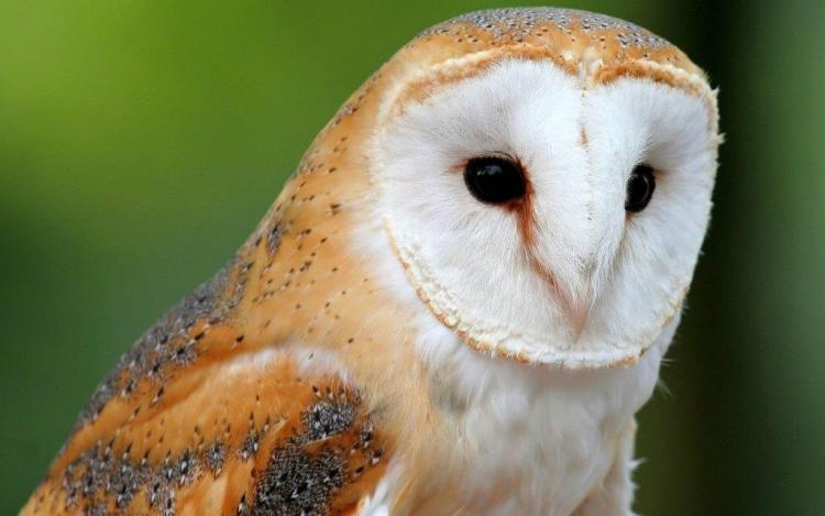 Unique White Owl Looks Great